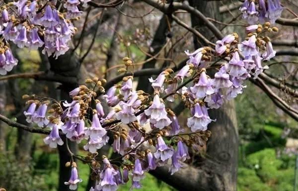 泡桐树皮灰色,褐色或黑色